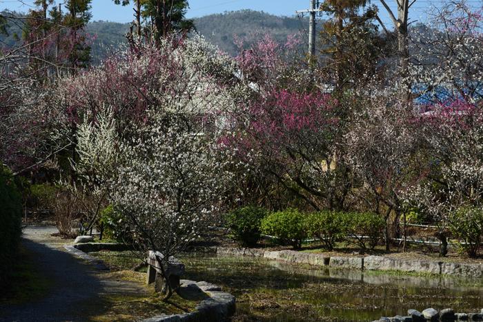 梅宮大社境内には、一般的によく見られる紅梅、白梅のほかに1本で紅白の花を咲かせる珍しい品種「想いのまま」などが植樹されています。梅林を鑑賞しながら珍しい梅の木を探してみるのもおすすめです。