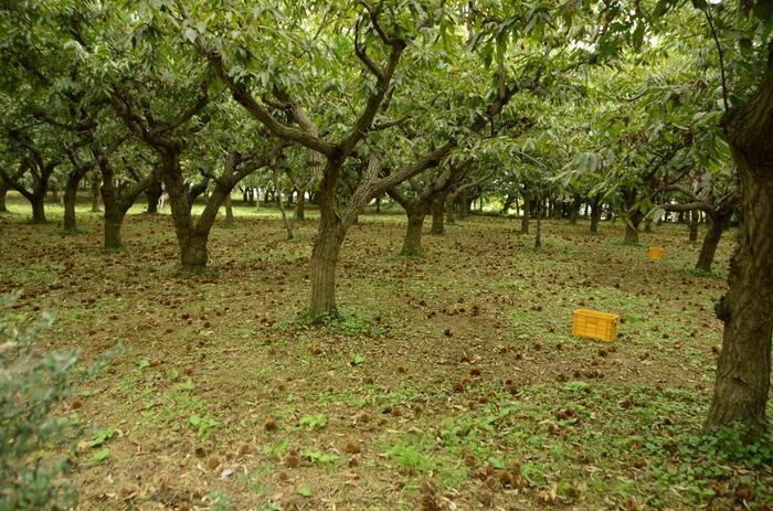 """「笠間」は、奈良期に著された「常陸国風土記」に""""笠間村""""としてその名が登場するように、豊かな自然の恩恵を受け、古くから人々が暮らしを営んできた土地です。「笠間」では、そうした天地の恵みを大いに活かした農畜産業が盛んに行われています。【市内栗園】"""