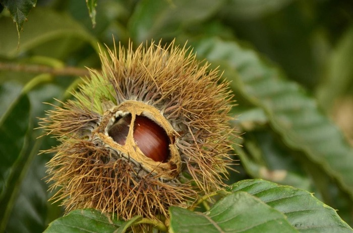 """「笠間」の農産物の中で、全国的に知られているのが""""栗""""。大粒で光沢がある""""笠間の栗""""は、その名が栗の優良ブランドとして市場に通る程に、良質で美味です。【笠間市内栗園】"""