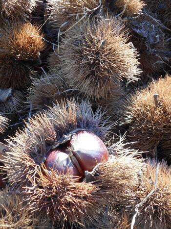 """葡萄や梅、柿等など、様々な特産農産物がありますが、その中で最も良く知られているのが、冒頭で紹介した通り""""栗""""です。  太平洋型で温暖な気候の「笠間市」は、保水や通気に優れた関東ローム層と呼ばれる火山灰層が広がる、栗栽培に適した土地です。生産量が物語るように、栗栽培に従事する農家が多く、市内を見渡せば、いたる所に栗林が連なっています。"""
