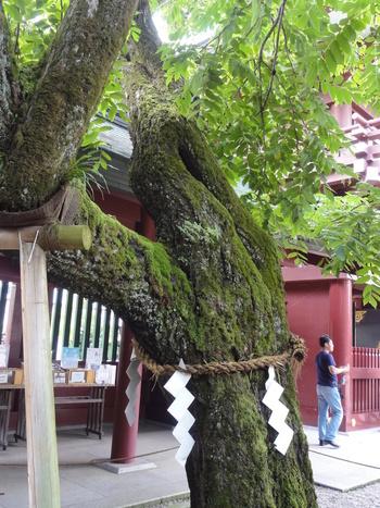 """「笠間稲荷」周辺の代表グルメのキーワードは、""""いなり寿司""""と""""胡桃""""。「笠間稲荷」近辺では、""""胡桃""""を用いた菓子などが、お土産として様々に販売されています。  【楼門傍らに立つ御神木である胡桃の木。当地は、その昔、胡桃の密林で覆われ、そこに稲荷大神を祀っていたことから、「胡桃下稲荷(くるみがしたいなり)」と呼ばれている。胡桃の土産が多いのは、御神木と土地の由来による。】"""
