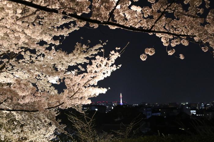 高台寺では、夜になると桜のライトアップが施されます。漆黒の世闇を背景に、淡いピンク色の桜の花びらが浮かび上がる様は幻想的でいつまで眺めていても飽きることはありません。