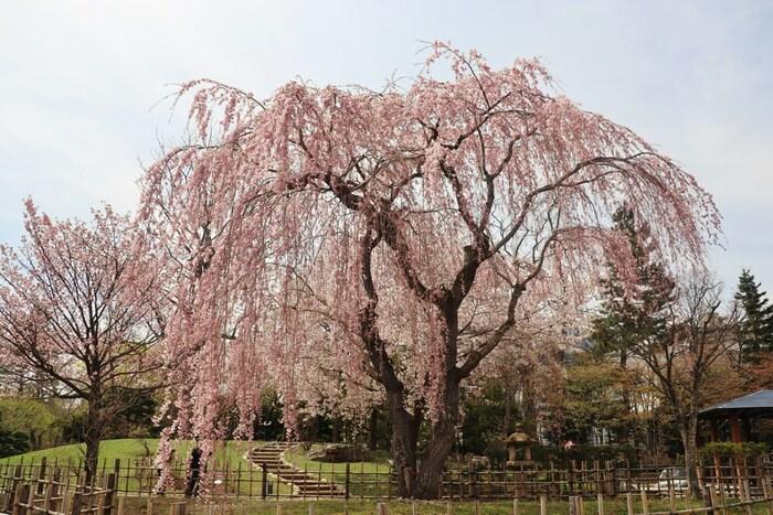 知恩院に隣接している円山公園は、美しい池泉回遊式の日本庭園を持つ公園で国の名勝に指定されています。京都市内を代表する桜の名所としても知られており、ひときわ目立つ「祇園枝垂れ桜」は、春の円山公園に華を添えています。