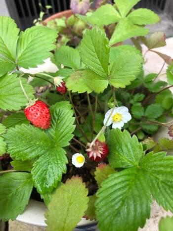 たくさん収穫できるのは春になってからですが、いちごの苗植えは冬が絶好のタイミング。雪が降るような時期はビニールトンネルなどカバーをかけてあげて。春になって白いかわいらしい花が咲き、真っ赤ないちごがどんどん実る姿は幸せそのもの。