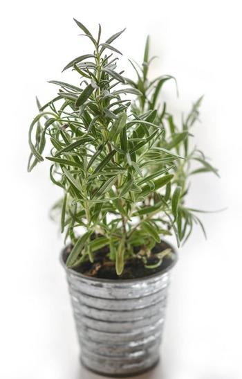 鼻に抜けるような香りが特徴的で、料理の香りづけなどによく使われるローズマリー。長く育てていると茎が樹木のようにしっかりしてきます。できれば日なたの風通しのよいところで育てるのがおすすめです。外で育てているようなら、枝を切って室内に持ってきても。部屋を爽やかな香りで満たしてくれます。