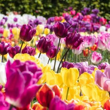 春に庭をにぎわせてくれる花としてチューリップを思い浮かべる人も多いでしょう。チューリップの球根を植えるのは今のうち!何色のチューリップが咲くか楽しみに待つのもいいですね。