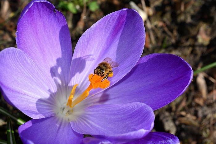 2月ごろから花が楽しめるクロッカス。小さな花がたくさん寄り集まって咲く様子はなんともかわいらしく、ほっこりします。日光を好むので日当たりのいい場所に球根を植えてあげましょう。