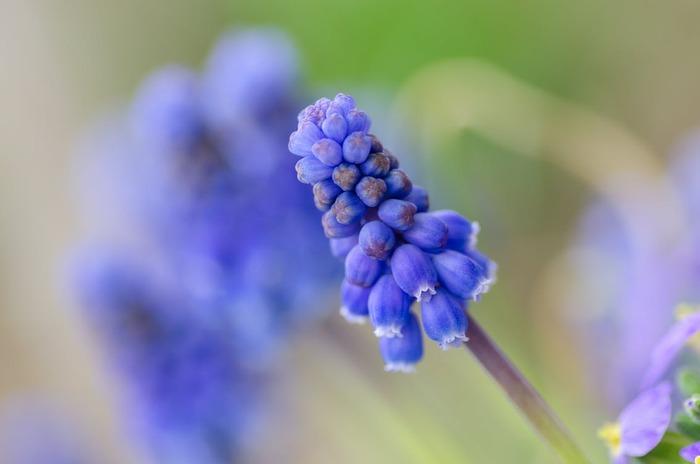 小さな花がぎゅっと寄り集まった姿がムスカリの特徴。チューリップと寄せ植えで楽しむのがおすすめです。ムスカリ単独でも幻想的な雰囲気になりますね。早い時期に球根を植えると、葉が長くのびるのでコンパクトに育てたいなら冬の始まりに植えるのでも。