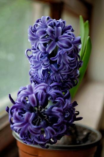 くるんとカーブした花びらが特徴的なヒヤシンスは香りもよいです。花が咲かなくなっても葉が黄色くなるまでそのままにしておくことで球根に栄養が蓄えられ、翌年もまた花を楽しむことができます。