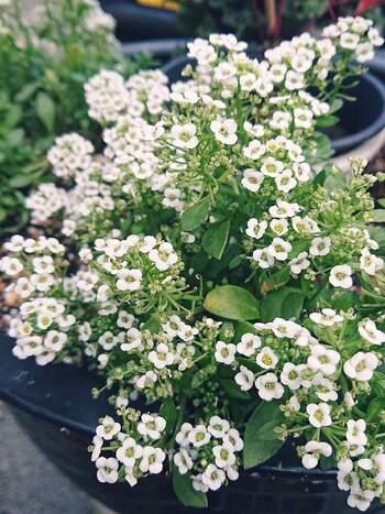 白く小さい花が密集して咲くので、庭の寄せ植えでも活躍するスイートアリッサム。どんどん横に広がってカーペットのようになっていきます。こぼれた種からも増えていくことがあるので、小さく育てたいときは注意してくださいね。