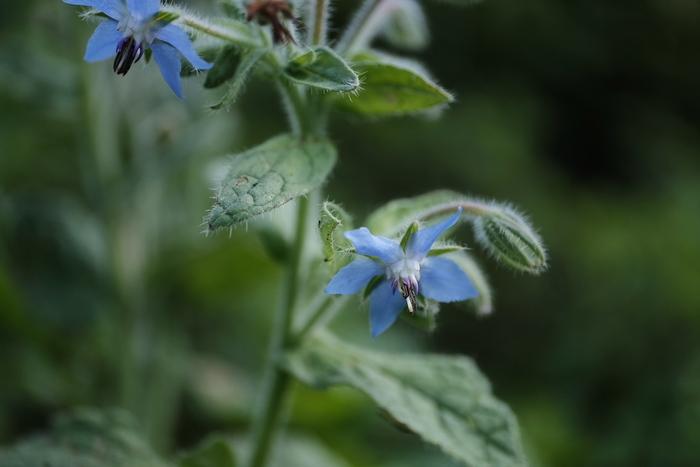 ヨーロッパではマドンナブルーと呼ばれるボリジの青い花。お料理の飾りつけにもよく使われていますね。和名は「ルリヂシャ」。