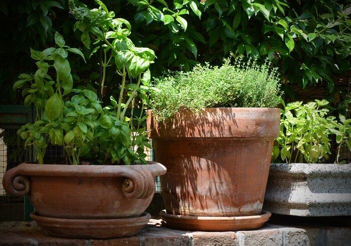 テラコッタは調湿作用がハーブの健康に一役買ってくれます。 タイムとバジル、どちらも食卓でも大活躍する品種です。
