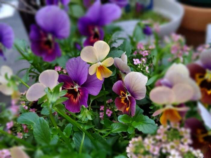 ビオラやパンジーはチューリップと並んで春の花のイメージがあるかもしれませんが、秋口から初夏まで長く花を咲かせてくれる植物です。花が枯れたら花がらをつんであげることで、株が疲れず長くきれいな花を楽しむことができます。
