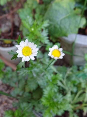 ノースポールとも呼ばれるクリサンセマムは、小さめな白い花びらの花をたくさん咲かせ、小ぶりなマーガレットのような花です。冬場でも気温が低すぎる時期でなければ、いつでも植えることができます。また庭植えの場合は、水やりもほとんど必要ありません。つい水やりを忘れてしまう人にも安心です。