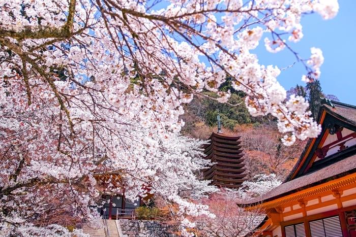 多武峰に鎮座する談山神社は、大化の改新で活躍した藤原鎌足を主祭神として祀る神社です。紅葉の名所として有名な談山神社ですが、神社境内、周辺の多武峰街道にはソメイヨシノ、山桜、枝垂れ桜、ウスズミ桜などが植樹されており、春の談山神社に華を添えています。