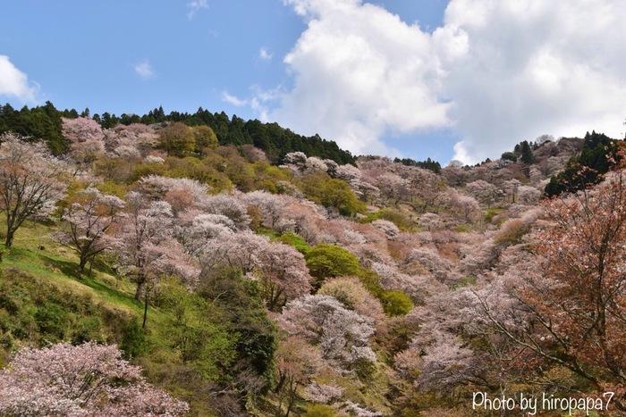 吉野山中腹に位置する中千本エリアまで足を延ばすと山全体に桜の絨毯を敷き詰めたかのような圧巻の風景を見渡すことができます。