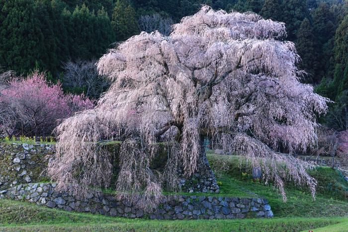 又兵衛桜は、樹齢300年とも伝えられている幹回3メートル、高さ13メートルの枝垂れ桜です。ここは、大阪夏の陣で活躍した戦国武将、後藤又兵衛の屋敷跡にあるということから、この枝垂れ桜は「又兵衛桜」と呼ばれています。