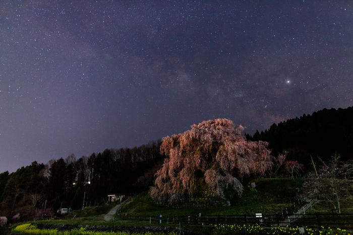 又兵衛桜は、夜になるとライトアップが行われます。満天の星空の下で、堂々と佇む又兵衛桜の姿は凛としており、日中とは異なる魅力を放っています。
