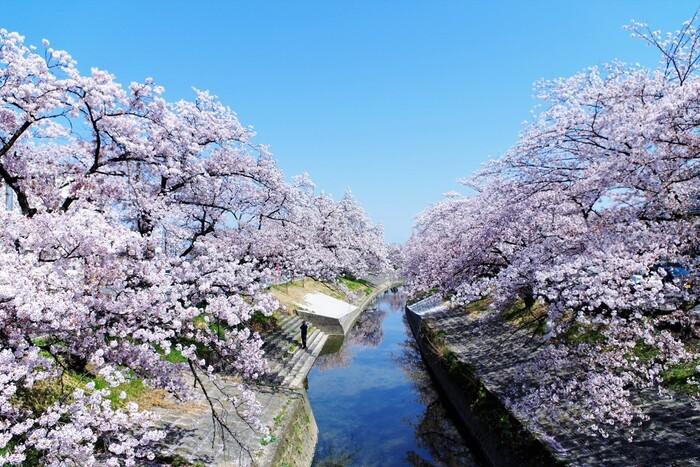 高田千本桜は、大和高田市を悠然と流れる高田川の畔に、市制施行が行われた1948年に市民のボランティアによって桜が植樹されたお花見スポットです。毎年3月下旬から4月上旬にかけて、高田川の両岸約2.5キロメートルにおよぶ桜のトンネルが現れます。
