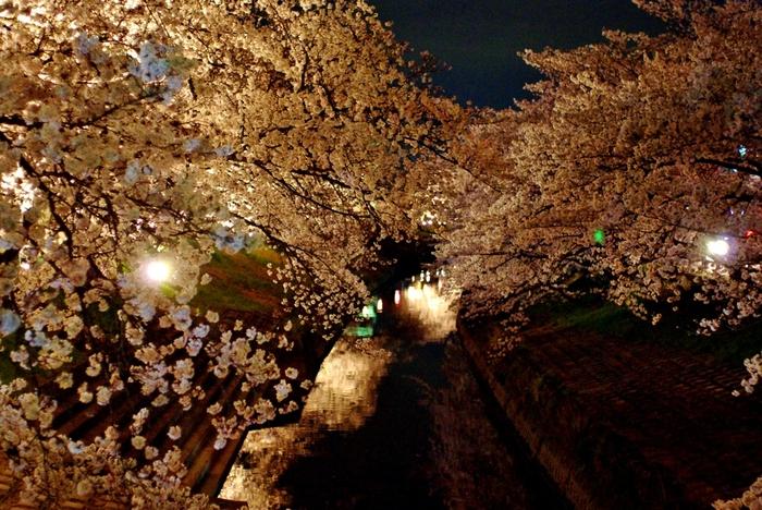 ソメイヨシノ、山桜、ヒガンザクラ、枝垂れ桜、八重桜など数々の桜、約1200本が植樹されている高田千本桜では、夜になるとライトアップが実施され、夜桜鑑賞を楽しむこともできます。