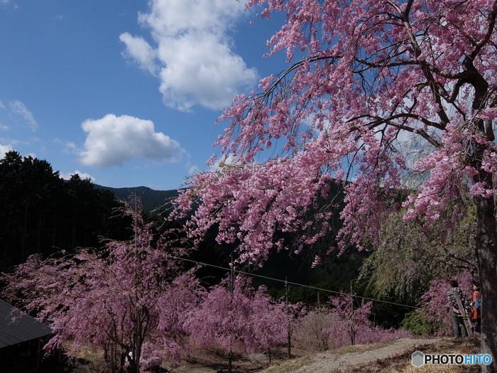 山間の高原に位置する高見の郷は「天空の庭」とも形容されています。ここでは、枝垂れ桜が約1000本植樹されているという全国的でも珍しい桜の名所です。