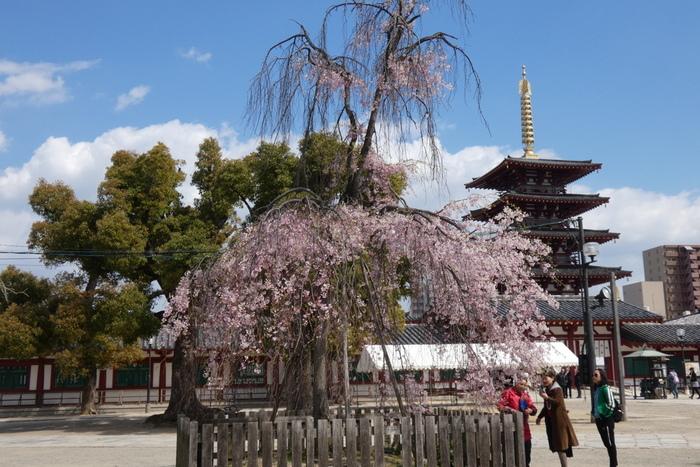 四天王寺は、6世紀末頃に聖徳太子によって建立された仏教寺院で、境内にはソメイヨシノ、枝垂れ桜、八重桜などが植樹されています。とりわけ、五重塔近くに植樹されている枝垂れ桜は見事で、参拝者を魅了してやみません。