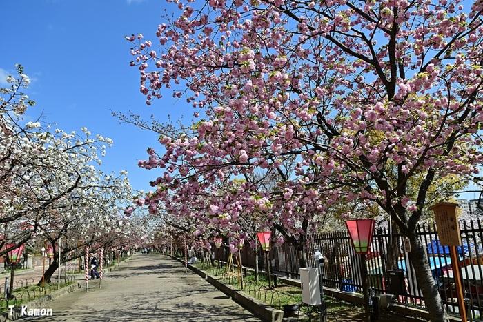 毎年桜の見頃に合わせて一般開放される「桜の通り抜け」で有名な大阪造幣局は、大阪府内でも指折りの人気を誇るお花見スポットです。大阪造幣局では八重桜を中心とした桜並木があり、春になると桜のトンネルが現れます。