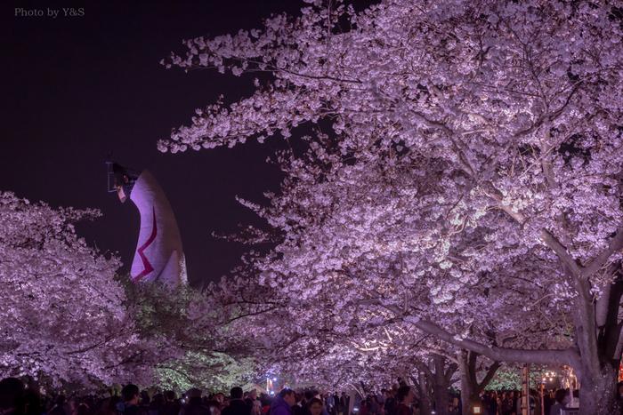 万博記念公園では、夜になると桜のライトアップが施されます。日中とは異なる風情を見せてくれる夜桜を鑑賞するために、夜の万博記念公園は、大勢の花見客で賑わいます。