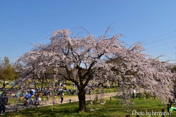 「日本の都市公園100選」、「大阪みどりの百選」、「日本の歴史公園100選」に選定されている大仙公園は近年世界遺産となった仁徳天皇陵古墳のすぐ近くにある都市公園です。広大な敷地には様々な種類の桜が約400本植樹されており、大阪府南部でも屈指の人気を誇るお花見スポットとなっています。