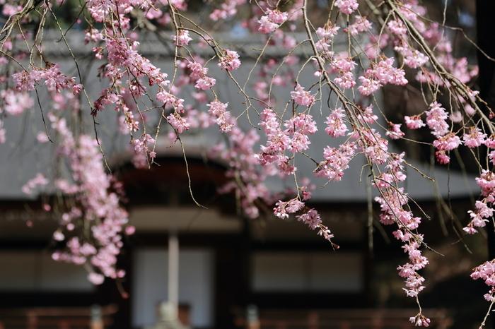 数々の名歌を詠んできた平安時代の歌人、西行法師終焉の地として知られる弘川寺は、隠れた桜の名所として知られています。西行法師は、自身が詠んだ句「願はくは花の下にて春死なむ その如月の望月のころ」のとおり、桜が咲く季節に弘川寺で72歳の生涯を閉じました。