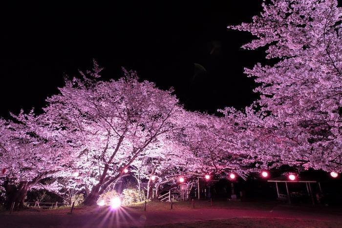 永楽ダム周辺の桜の樹々は夜になるとライトアップが実施されます。ここでは、漆黒の世闇を背景に、光を浴びて淡ピンク色をした桜の樹々が浮かび上がる幻想的な景色を眺めることができます。