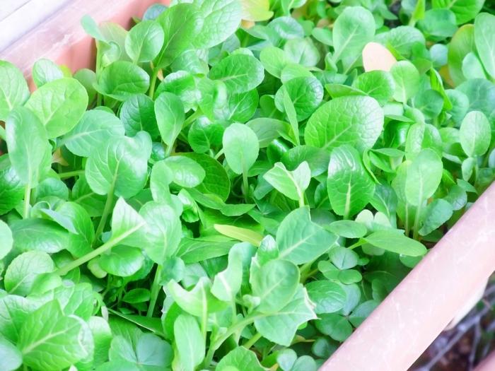 小松菜は1年を通じていつでも植えられる野菜ですが、旬は冬なので、寒い季節こそしっかり育ちます。プランターでも育てられますよ。