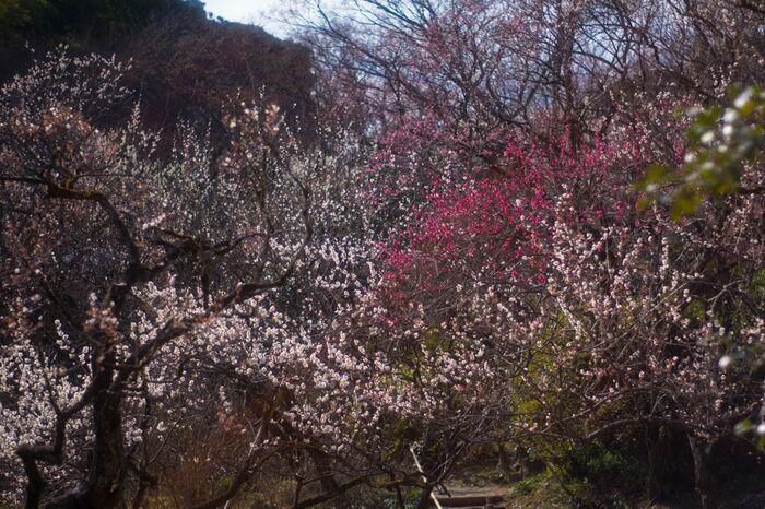 多摩丘陵の一角に位置する京王百草園は、江戸時代から続く日本庭園で、日野市を代表する梅の名所です。園内には、約800本の梅が植樹されており、毎年2月から3月に梅まつりが開催されています。