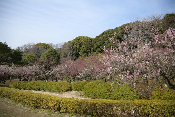 「小石川植物園」の名でおなじみの植物園、東京大学大学院理学系研究科附属植物園は、東京大学に付属している植物の研究を行う施設です。広大な敷地内には日本庭園があり、その一角に鑑賞用として、約50品種約100本の梅が植樹されています。