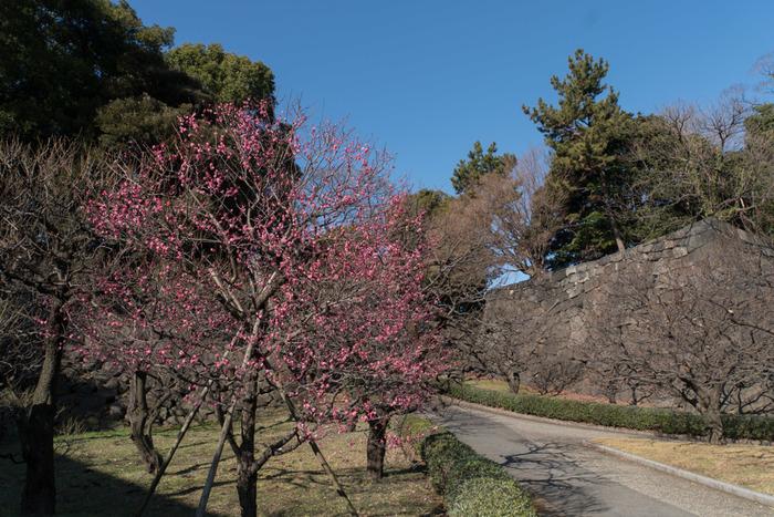 皇居東御苑の梅林坂は旧江戸城の本丸と二の丸を結ぶ坂道です。ここには紅梅、白梅が約70本植樹されており、初春になると見ごろを迎えます。