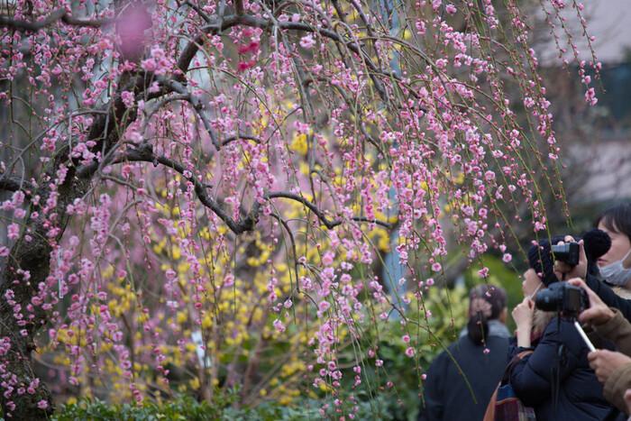 満開に咲き誇る枝垂梅の下にそっと立ってみましょう。淡いピンク色をした梅の花が空から降り注ぎ、初春そのものが舞い降りてきたかのような景色を臨むことができます。