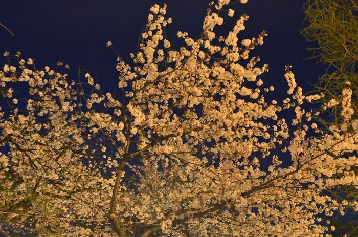 靖国神社では、桜が見ごろを迎える時季になると外苑の桜にライトアップが施されます。ぼんぼりの灯りに照らされた夜桜は、独特の風情があり、幻想的な美しさを醸し出しています。