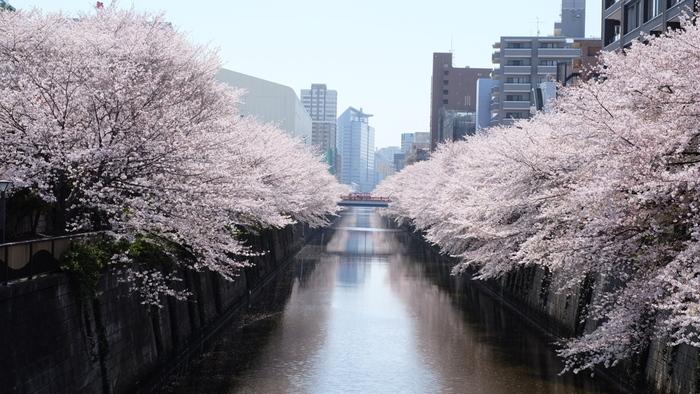 目黒川では、池尻大橋から目黒駅にかけて約4キロメートルの川沿いの両岸に桜並木が植樹されています。ソメイヨシノを中心とした桜約800本が開花する様は壮観です。
