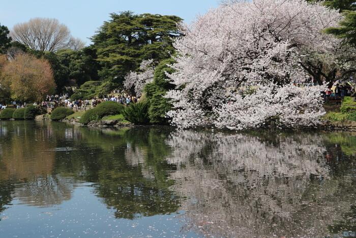 高層ビルが立ち並ぶ新宿区に立地している新宿御苑は、約58.3ヘクタールの敷地をほこる国民公園で、都会のオアシスのような存在です。四季折々で美しい花々を咲かせる新宿御苑では、カンザクラ、ソメイヨシノ、山桜、イチヨウ、カンザンなど約1000本の桜が植樹されています。