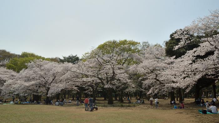代々木公園は、都心に立地しながらも緑に囲まれ静寂に包まれており、東京都民の憩いの場となっている場所です。約54.1ヘクタールにおよぶ広大な敷地には、ソメイヨシノ、カワヅザクラ、サトザクラ、山桜、コヒガンザクラ、ウワミズザクラなど多数の桜が植樹されています。