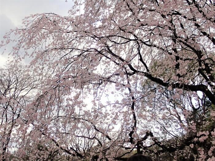 満開に花を咲かせる枝垂れ桜の姿は壮麗で、この桜の傍に立ってみると、流れ落ちる桜の滝を眺めているかのような気分を覚えます。