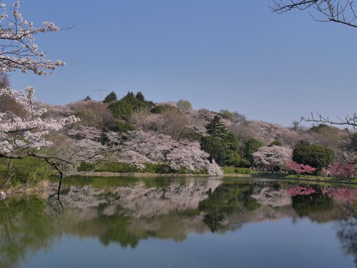 約29.7ヘクタールという広大な敷地面積を誇る県立三ッ池公園は、「日本さくら名所100選」に選定されています。ソメイヨシノを中心として様々な品種の桜が約1600本植樹されている県立三ッ池公園は、神奈川県屈指の桜の名所となっています。
