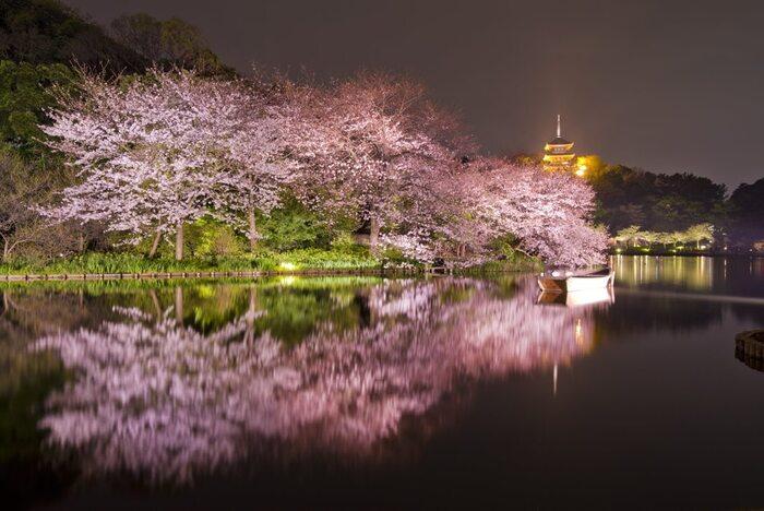 桜が見ごろを迎える時季になると三溪園では夜間のライトアップが施されます。漆黒の闇夜、光を浴びて輝く歴史的建造物と桜の樹々、それらを映す静かな池の水面が織りなし、日中とは異なる神秘的な風景が現れます。