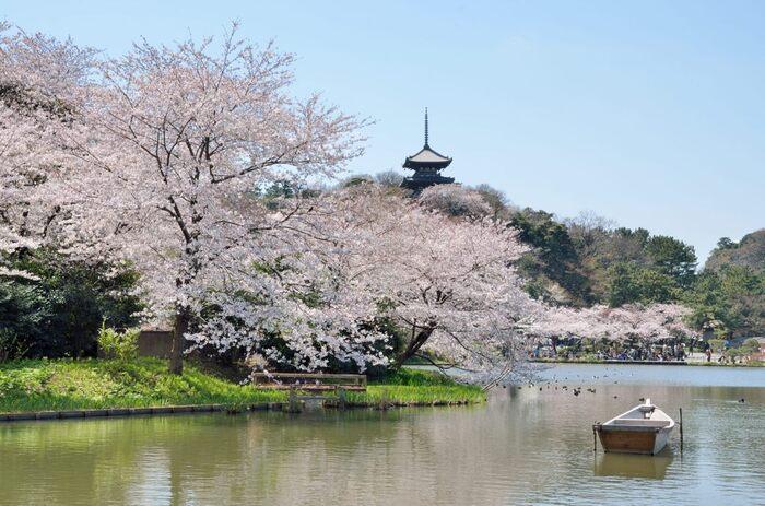 三溪園は、三重塔、京都・鎌倉などから移築した歴史的建造物17棟が配置されている日本庭園です。三重塔を背景に桜が満開に咲き誇る様は、古都京都を彷彿とさせる趣です。