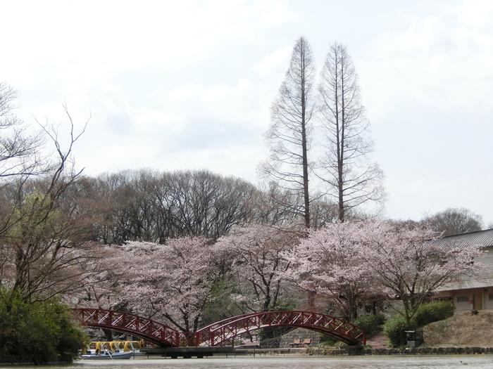 たくさんの遊具、乗り物、動物たちとのふれあいコーナーががあるこどもの国は、多摩丘陵の起伏と自然を活かして整備された複合型テーマパークです。ここは、小さな子供を連れても気軽にお花見を楽しむことができる桜の名所として親しまれています。