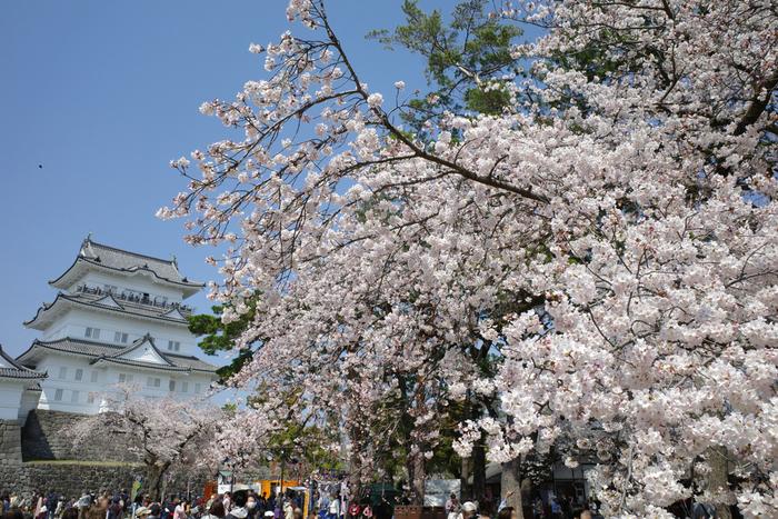 小田原城址公園は、室町時代から戦国時代にかけて「難攻不落の城」としてその名を天下に轟かせていた小田原城の本丸と天守閣を復興、整備した都市公園です。「日本さくら名所100選」にも選定されている小田原城址公園は、小田原市を代表するお花見スポットでもあります。