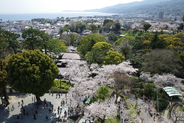 小田原城址公園へ桜を観に訪れたのなら、ぜひ、天守閣に登ってみることをおすすめします。眼下に広がる桜の樹々、小田原市の市街地、遠くに見える相模湾が織りなす景色は絶景そのものです。