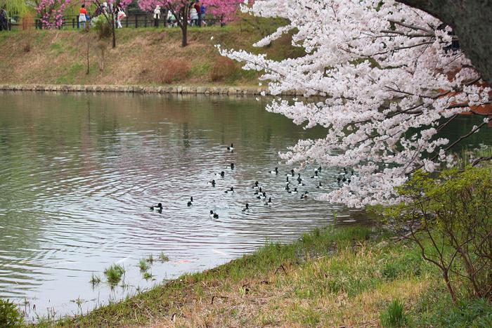「かながわの探鳥地50選」にも選定されている県立三ッ池公園は、野鳥の宝庫でもあります。公園内の池では、ゆったりと泳ぐカモなどの水鳥の姿を見かけることもできます。