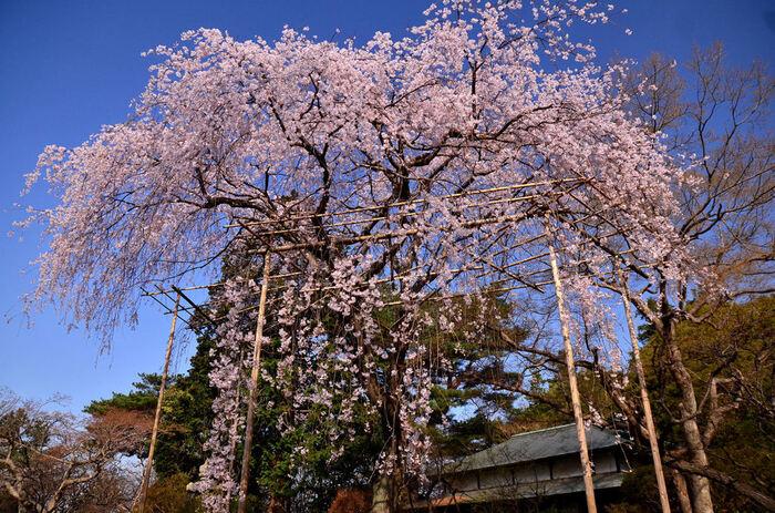 満開に咲き誇る枝垂れ桜の木の下に立ってみましょう。まるで春そのものが大地に舞い降りているような、淡いピンク色をした花が空から降り注ぐ景色を臨むことができます。
