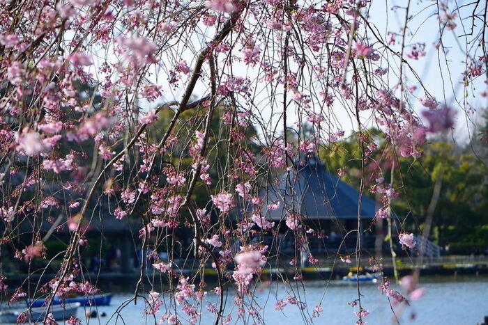 千葉公園には、日本全国各地でよく見かけることができるソメイヨシノのほかに、枝垂れ桜も植樹されています。流れ落ちる滝のように花を咲かせる枝垂れ桜の花びらは、春の訪れを私たちに告げているかのようです。